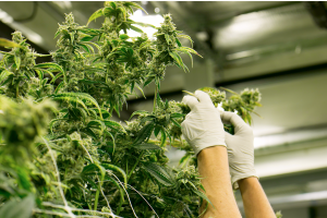 Cannabinol (CBN: The Next Cannabinoid that should be on your radar!