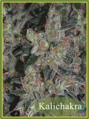 Mandala Seeds - Kalichakra regular cannabis seeds - sativa dominant marijuana strain with a grow time around 68 days