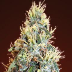 Advanced Seeds - Auto Jack Herer feminized cannabis seeds - autoflowering marijuana strain with a flowering time around 65-70 days and THC levels around 15%