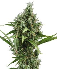 CBD Seeds - Auto Amnesia feminized cannabis seeds - autoflowering hybrid marijuana strain with a flowering time around 9-10 weeks
