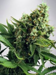 Ministry of Cannabis - Auto Blueberry Domina (Feminized)