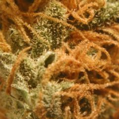BC Bud Depot - BC Cheese regular cannabis seeds - indica/sativa hybrid marijuana strain with a flowering time around 8-9 weeks