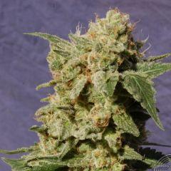 Kannabia - BCN Diesel feminized cannabis seeds - indica/sativa hybrid marijuana strain with a flowering time around 60-65 days