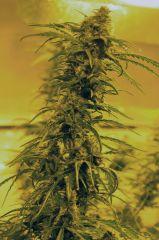 Medicann Seeds - Black Blood