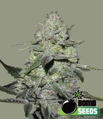 Bomb Seeds - Gorilla Bomb feminized cannabis seeds