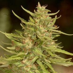 Buddha Seeds - White Dwarf feminized cannabis seeds - autoflowering hybrid marijuana strain with a flowering time around 65 days