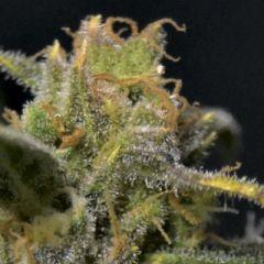 CBD Seeds - Auto Northern feminized cannabis seeds - autoflowering hybrid marijuana strain with a flowering time around 8-9 weeks