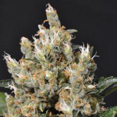 CBD Seeds - Kali feminized cannabis seeds - 90% sativa dominant marijuana strain with a flowering time of 11-12 weeks