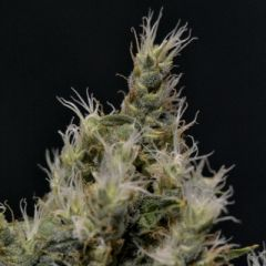 CBD Seeds - Vanilla Haze feminized cannabis seeds - sativa dominant marijuana strain with a flowering time around 9-10 weeks
