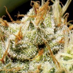 CBD Seeds - Yumbolt feminized cannabis seeds - indica dominant hybrid marijuana strain with a flowering time around 9 weeks