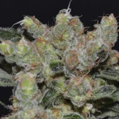 CBD Seeds - Zen feminized cannabis seeds - sativa dominant hybrid marijuana strain with a flowering time around 10 weeks