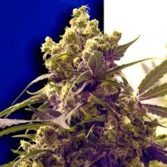 Ceres Seeds - Purple feminized cannabis seeds - indica/sativa hybrid marijuana strain with a flowering time around 50-60 days