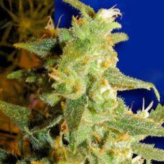 Ceres Seeds - Skunk Haze feminized cannabis seeds - sativa dominant marijuana strain flowering in 65-75 days