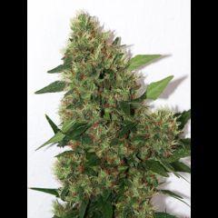 Mandala Seeds - Chill-OM regular cannabis seeds - indica/sativa hybrid marijuana strain with a grow time around 65-72 days