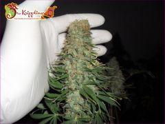 Dr Krippling - Mango Chutney