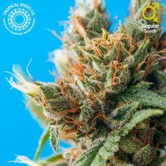 Tropical Seeds Co - Durban Punch (Reg)