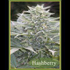 Mandala Seeds - Hashberry regular cannabis seeds - indica dominant marijuana strain with a grow time between 60-65 days