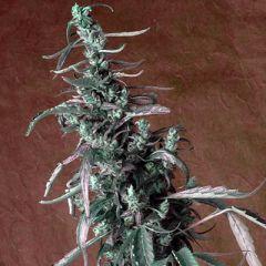 Kush Cannabis Seeds - Haze regular cannabis seeds - sativa dominant marijuana strain with a high yield