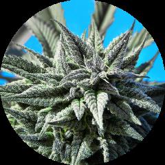 Top Tao Seeds - Auto Tao Blueberry (5 Reg)