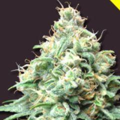 Bomb Seeds - Kush Bomb feminized cannabis seeds - indica/sativa hybrid marijuana strain with a flowering time of 7-9 weeks and THC levels around 20-25%