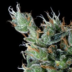 Delta9 Labs - Magnum Platinum Haze feminized cannabis seeds - 80% sativa dominant marijuana strain with a grow time of 63-77 days