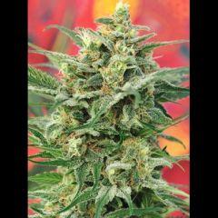 Mandala Seeds - 8 Miles High 10 Reg