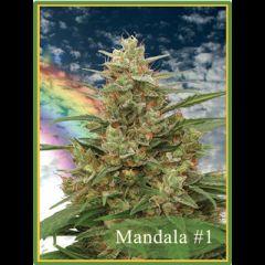 Mandala Seeds - Mandala #1 regular cannabis seeds - indica/sativa hybrid marijuana strain with a grow time between 55-60 days.