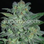 Expert Seeds - Northern Lights (Fem)