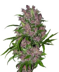 White Label - Purple Bud Auto (Fem)