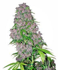 White Label Seeds - Purple Bud (Fem)