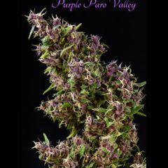 Mandala Seeds - Purple Paro Valley feminized cannabis seeds - 75% sativa dominant marijuana strain with a grow time around 9 weeks and THC levels at 8.7-11%