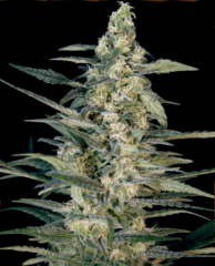 Big Monster Seeds - Green Joint Auto (Fem)