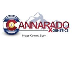 Cannarado Genetics - Dubble Sundae (Feminized)