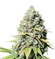 Super Sativa Seed Club - Kosher Haze (Feminized)