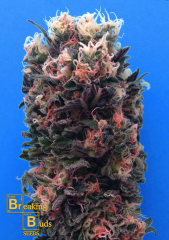 Breaking Buds Seeds - Blue Sky 99% (feminized)