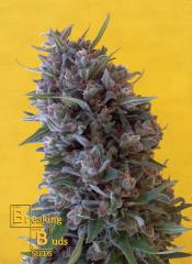 Breaking Buds Seeds - Cheeisenberg (Feminized)