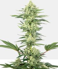 White Label Seed Company - White Gorilla Haze (Feminized)
