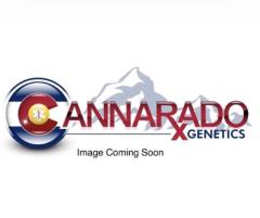 Cannarado Genetics - Bat Mitzvah (Feminized)