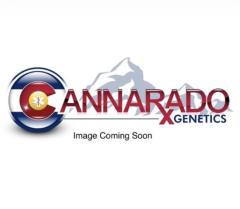 Cannarado Genetics - Sasha (Feminized)