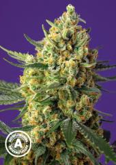 Sweet Seeds - Crystal Candy XL Auto (Feminized)