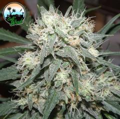 Cali Weed - Cali Killer (Feminized)