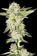 Cannabis Elev8 Seeds - Gelato Cake (Feminized)