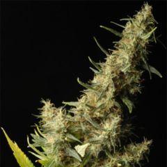 Delta9 Labs - Southern Lights regular cannabis seeds - 80% sativa dominant marijuana strain flowering in 75-80 days