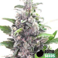Bomb Seeds - THC Bomb regular cannabis seeds - indica/sativa hybrid marijuana strain with a flowering time around 7-9 weeks and THC levels around 20-25%