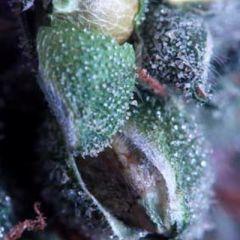 Delta9 Labs - The Merkabah regular cannabis seeds - 90% sativa dominant marijuana strain flowering in approx 63 days