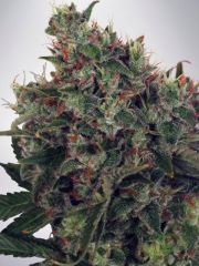 Ministry of Cannabis - Ultra White Widow (Feminized)