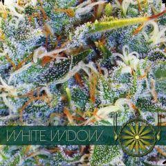 Vision Seeds - White Widow (Fem)