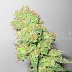 Medical Seeds - Y Griega CBD (Fem)
