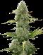 Seed Stockers BCN Critical XXL Auto (Fem)