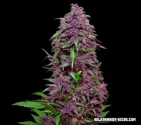 purple mazar